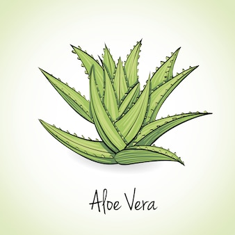 Aloe vera kräuter und gewürze.