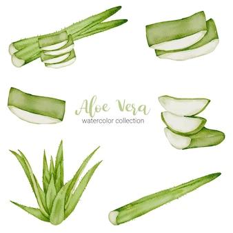 Aloe vera kraut in aquarell sammlung mit voll und in scheiben schneiden und in zwei hälften schneiden