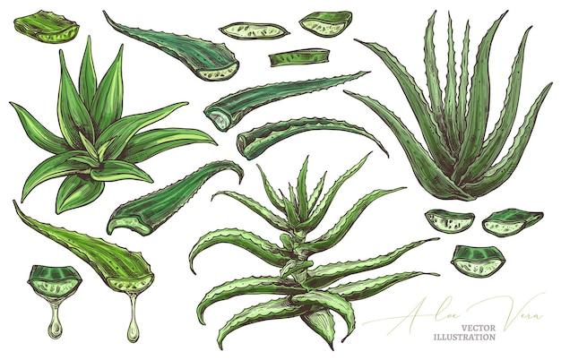 Aloe vera leafe, scheiben und handgezeichnete setillustration der hauptblumen