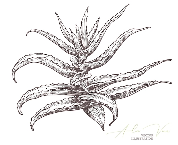 Aloe vera skizze gravur botanische illustration