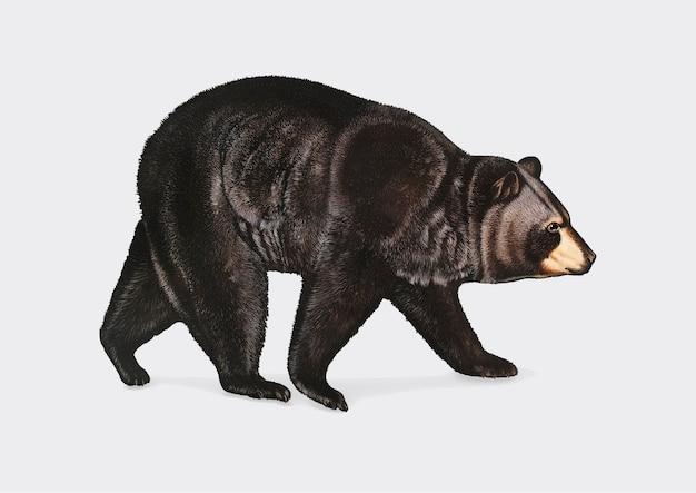 Amerikanische illustration des schwarzen bären