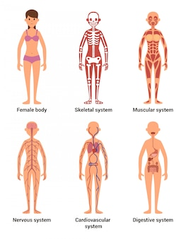 Anatomie der frau
