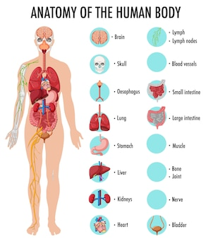 Anatomie der infografik zur information des menschlichen körpers