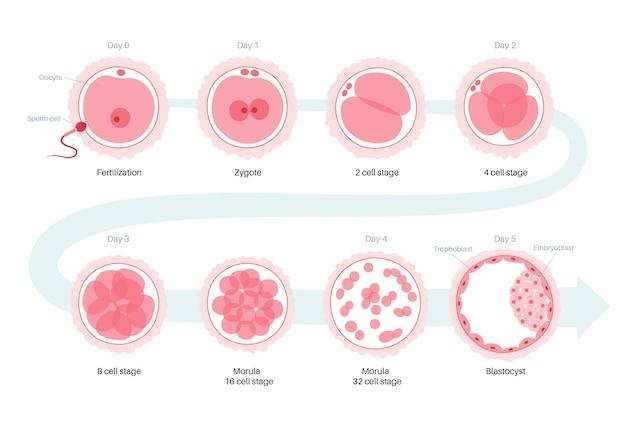 Anatomie der menschlichen eizelle. düngung, gynäkologie und ivf-forschung.