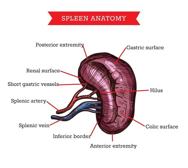 Anatomie der menschlichen milz, skizze medizin hilfsschema des körpereigenen gastroenterologischen organs.