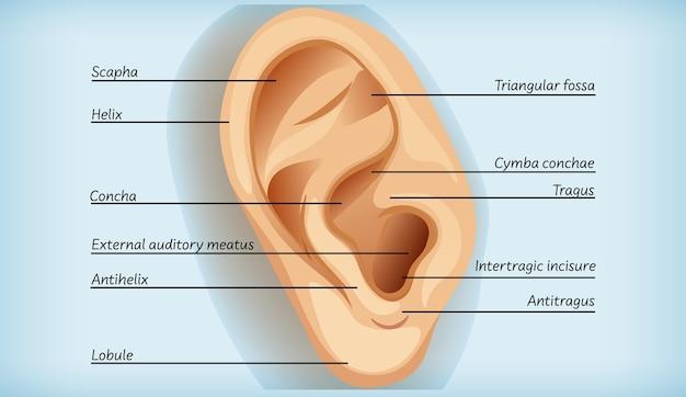 Anatomie des außenohrs