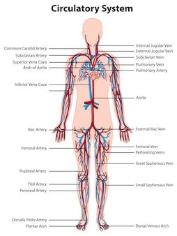 Anatomie des kreislaufsystems