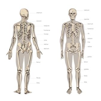 Anatomie des menschen, skelett