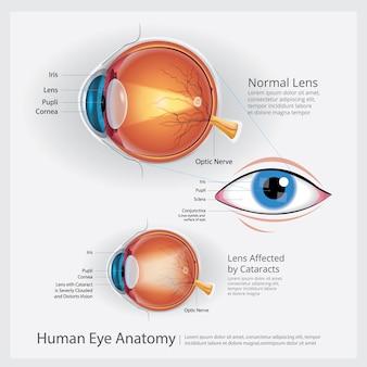 Anatomie des menschlichen auges illustration