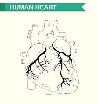 Anatomie des menschlichen herzens