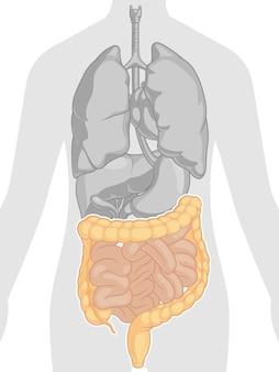 Anatomie des menschlichen körpers - darm