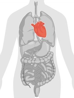 Anatomie des menschlichen körpers - herz