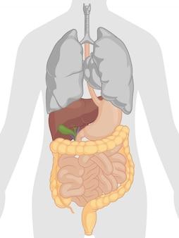 Anatomie des menschlichen körpers - verdauungssystem