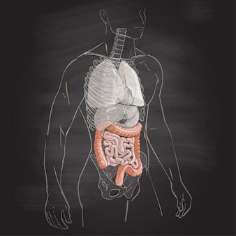 Anatomie des menschlichen körpers