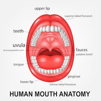 Anatomie des menschlichen mundes