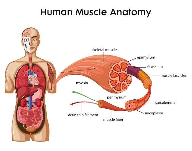 Anatomie des menschlichen muskels mit körperanatomie