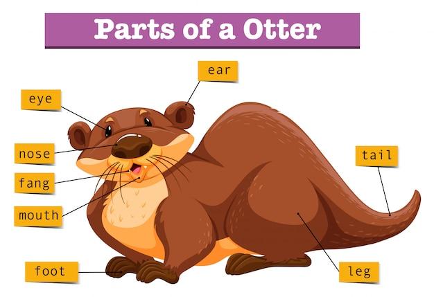 Anatomie des niedlichen otters