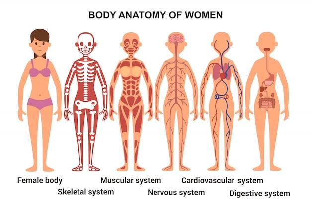 Anatomie des weiblichen körpers. anatomisches poster. skelett- und muskelsystem, nerven- und kreislaufsystem, menschliches verdauungssystem