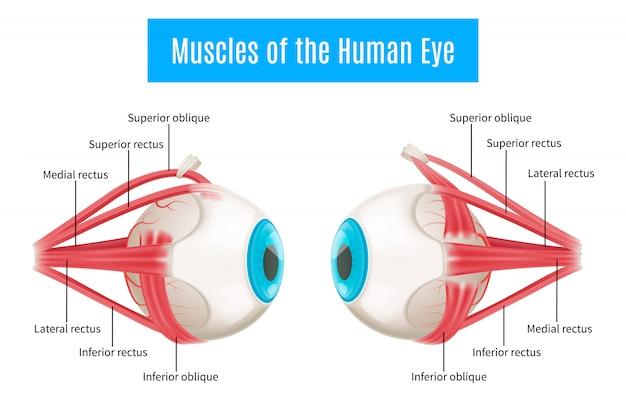 Anatomiediagramm des menschlichen auges