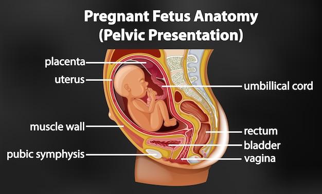 Anatomiediagramm für schwangere feten