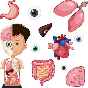 Anatomieobjekte der menschlichen teile