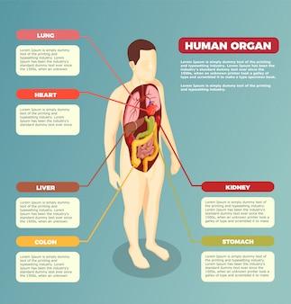 Anatomisches plakat der menschlichen organe