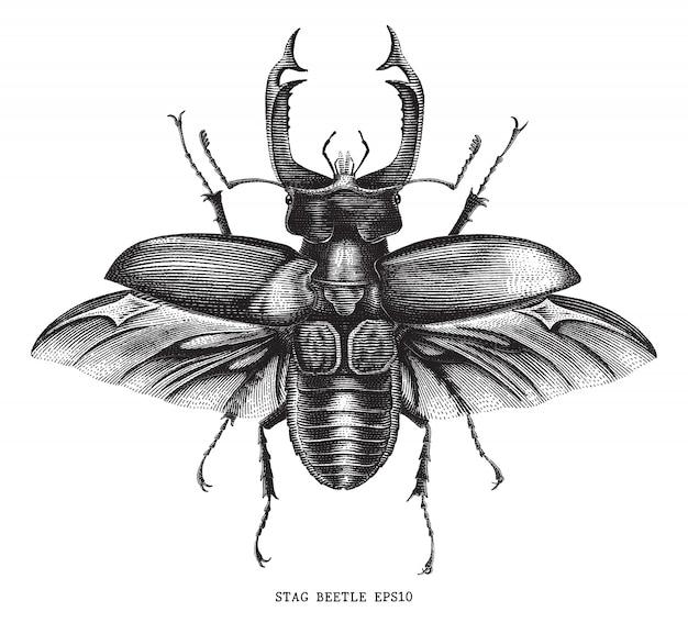 Antike der insektenhirschkäfer-käferillustrationsgravur-weinlesestil lokalisiert auf weißem hintergrund