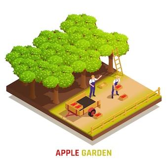 Apfelgarten, der isometrische zusammensetzung mit landarbeitern erntet, die früchte pflücken und volle kisten in den anhänger stellen