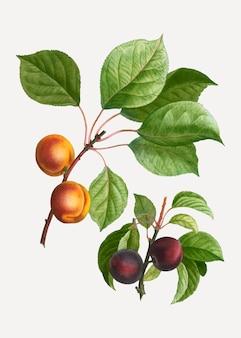 Aprikosen und pflaumen