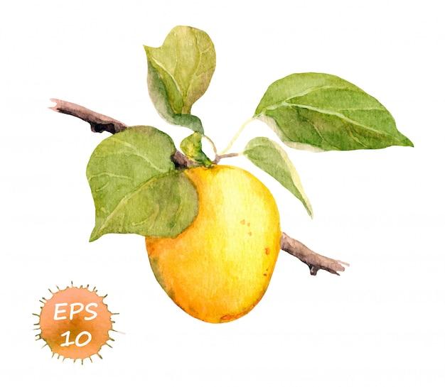 Aprikosenfrucht auf niederlassung mit blättern. illustration