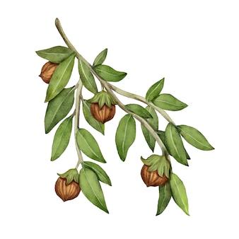 Aquarell jojoba pflanze illustration