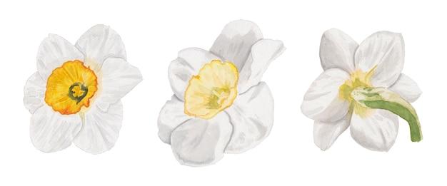 Aquarell-set von narzissenblüten