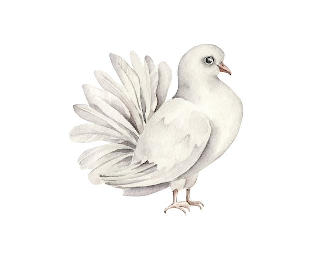 Aquarell taube isoliert. weißer vogel