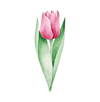 Aquarell tulpe