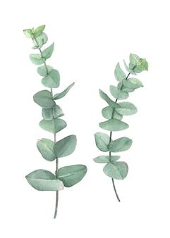 Aquarellgrün-baby-eukalyptus, perfekt für karte, wanddekoration und jedes andere design