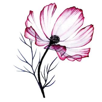Aquarellzusammensetzung von transparenten rosa kamillenblüten isoliert auf weiß