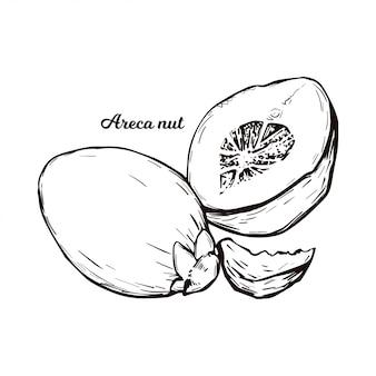 Areca betelnuss isoliert. palmensamen areca catechu, betelnuss kauend. indische pflanze, asiatisches kraut oder frucht. kautabak, gesundheitsschädliche wirkungen und krebserregende nüsse.