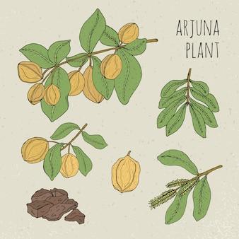 Arjuna, medizinischer botanischer ayurvedischer baum. pflanze, frucht, blumen, rinde, blätter handgezeichneter satz. vintage bunte isolierte illustration.