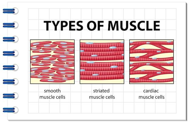 Arten von muskelzelldiagrammen