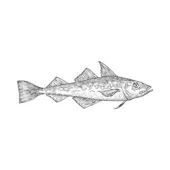 Atlantic pollock hand gezeichnete doodle-vektor-illustration. abstrakte fisch-skizze. gravur stil zeichnung. isoliert.