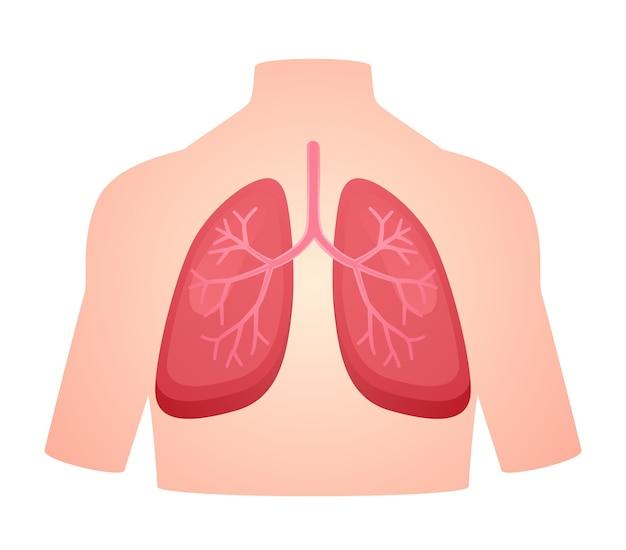 Atmungssystem des menschlichen anatomieorgans lungen-lungenatem