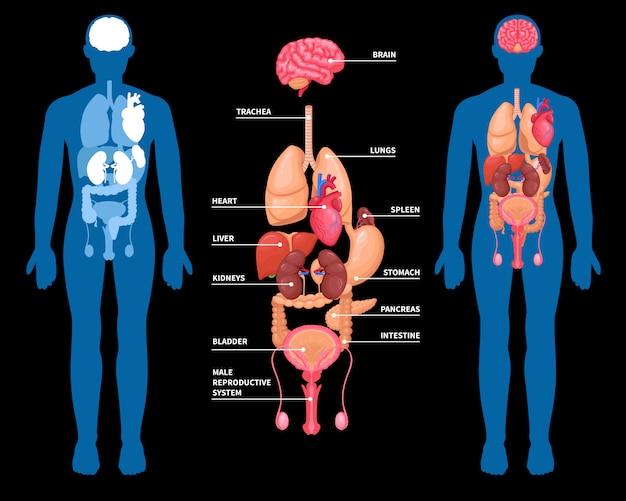 Aufbau der inneren organe der menschlichen anatomie
