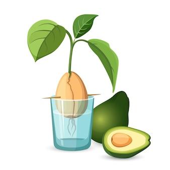 Avocado wachsen knochen mit stiel und blättern in transparentem glas wasser, ganze grüne avocado und die hälfte der frucht mit großem knochen im inneren. flache ikone des avocado-wachstumsprozesses