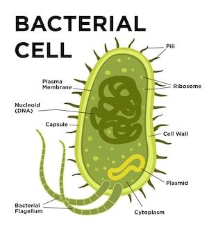 Bakterielle zellanatomie im flachen stil markierung von strukturen auf einer bazilluszelle mit dna und ribosomen