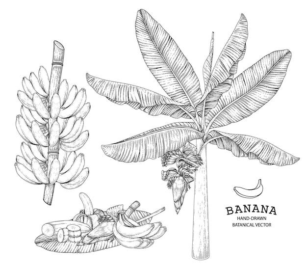 Bananenbaumfrucht und -blütenhand gezeichnete retroillustration