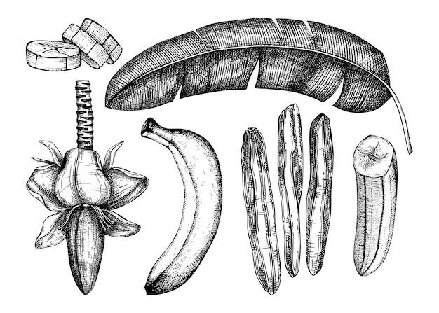 Bananenhand gezeichnete illustrationen gesetzt. bananenblüte, frische und getrocknete früchte, scheibe, palmenblätter. zeichnungen von trockenfrüchten. vintage-skizze der bananenpalme. im gravierten stil. gesunde lebensmittelelemente
