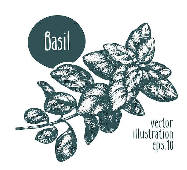 Basilikumzweig vektorillustration hand gezeichnet.