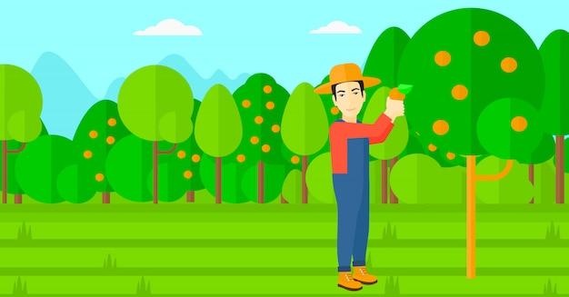 Bauer sammelt orangen.