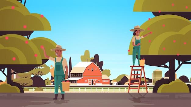 Bauernpaar, das reife äpfel von der baummannfrau pflückt, die früchte in der gartenerntezeit sammelt