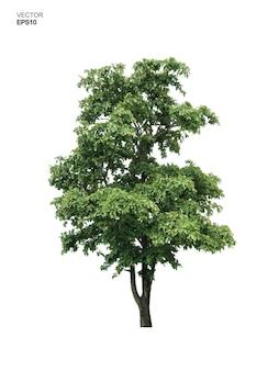 Baum getrennt auf weißem hintergrund. park- und outdoor-objektidee für landschaftsgestaltung, architektonische dekoration. vektor-illustration.